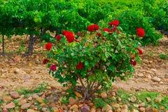 玫瑰丛 免版税库存照片