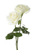 玫瑰二白色 图库摄影