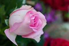 玫瑰关闭。背景,桃红色玫瑰的领域 免版税库存照片