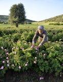 玫瑰农厂工人 免版税库存图片