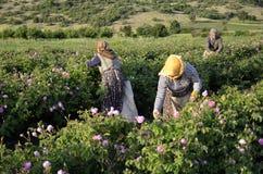 玫瑰农厂工人 免版税库存照片