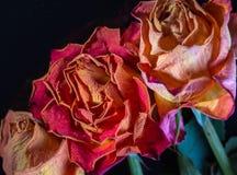 玫瑰凋枯了 免版税库存图片