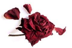 玫瑰凋枯 免版税库存照片