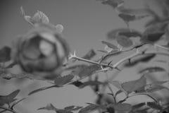 玫瑰刺 免版税库存照片