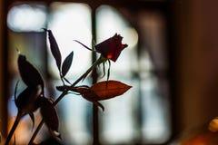 玫瑰剪影在一块玻璃的在桌上 免版税库存图片