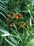 玫瑰叶植物西洋樱草花 库存图片