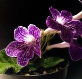 玫瑰叶植物 免版税库存照片