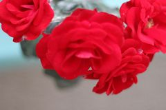 玫瑰和它` s红色休 库存图片
