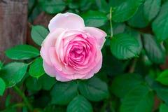 玫瑰和杉木锥体 免版税库存图片