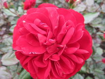 玫瑰和牡丹-红色 库存图片