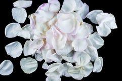玫瑰和瓣花在不同的背景 库存图片