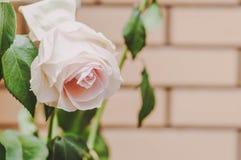 玫瑰和瓣花在不同的背景 免版税库存图片