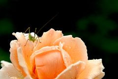 玫瑰和蚂蚱 免版税库存图片