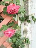 玫瑰和被风化的木头 免版税库存照片
