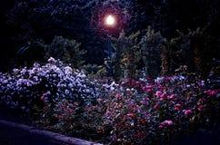 玫瑰园在晚上 免版税图库摄影