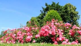 玫瑰园在波罗的海海岸的夏天 库存图片