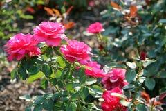 玫瑰园在茱莉亚・戴维斯公园 免版税图库摄影
