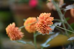 玫瑰园, Munnar,喀拉拉 免版税图库摄影