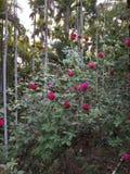 玫瑰园 库存照片