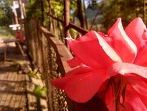 玫瑰园 免版税图库摄影