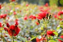 玫瑰在公园。 库存图片