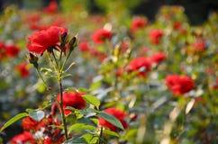 玫瑰在公园。 免版税库存照片