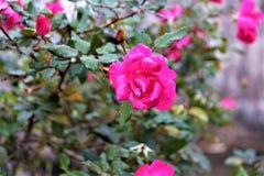 玫瑰在坟园 库存照片