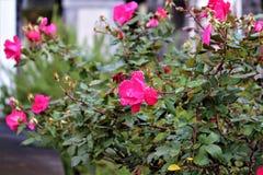 玫瑰在坟园 免版税图库摄影
