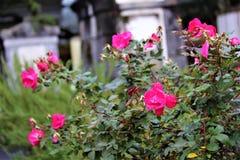 玫瑰在坟园 免版税库存照片