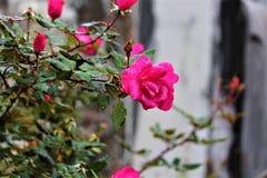 玫瑰在坟园 库存图片