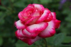玫瑰在小滴露水 在小下落的一朵美丽的花 年轻上升了反对夏天绿叶背景  免版税库存图片