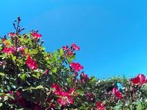 玫瑰在庭院里在一个晴天02 免版税图库摄影