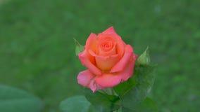 玫瑰在庭院里 股票视频
