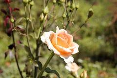 玫瑰在庭院里 ? 免版税图库摄影