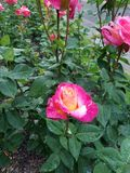 玫瑰在波特兰俄勒冈testgarden rosegarden桃红色 免版税库存照片