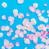 玫瑰在蓝色背景的花瓣安排 平的位置,顶视图 桃红色花纹理 红色上升了 免版税库存照片