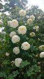 玫瑰在雨中 库存图片