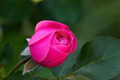 玫瑰在tne庭院里 库存图片