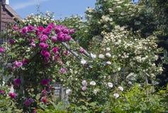 玫瑰大群在庭院里 免版税库存照片