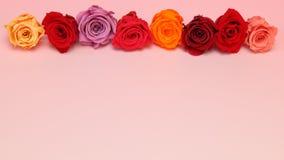 玫瑰头状花序在桃红色渐进性背景中 免版税库存照片