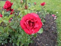 玫瑰庭院  免版税库存照片