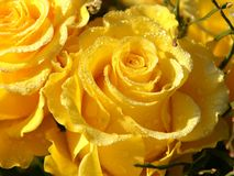 玫瑰弄湿了黄色 库存图片