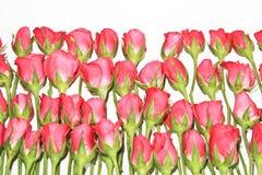 玫瑰拉丁文 库存图片