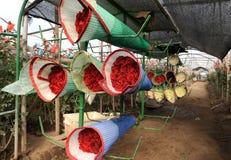 玫瑰收获,种植园在厄瓜多尔 库存照片