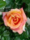 玫瑰是最美丽的花 免版税库存照片