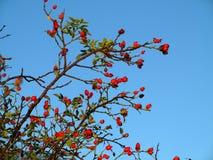 玫瑰果在蓝天的莓果灌木 免版税库存图片