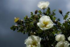 玫瑰果狂放的白色玫瑰花反对蓝天的 库存图片