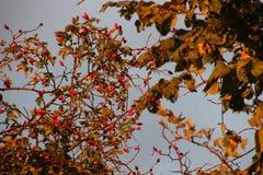 玫瑰果莓果在10月 库存照片