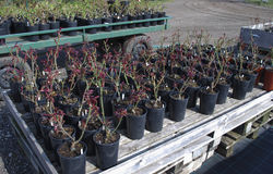 玫瑰树苗在黑罐的在木板台 库存图片