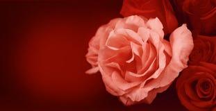 玫瑰横幅 免版税库存图片